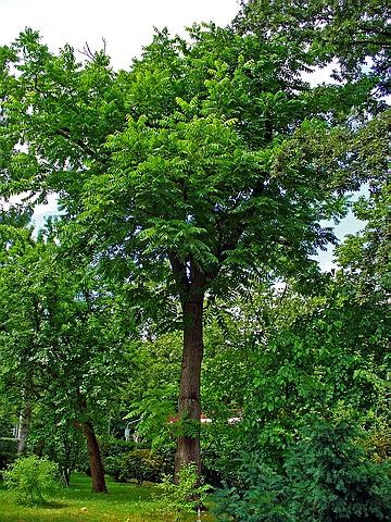 Крупномеры лиственные Орех серый