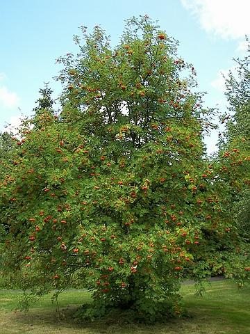 Крупномеры лиственные Рябина обыкновенная
