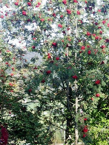 Крупномер лиственный Рябина обыкновенная Эдулис