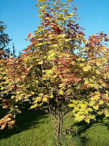 Крупномеры лиственные Рябина смешанная