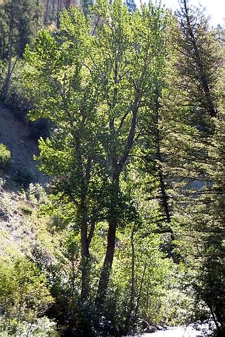 Крупномеры лиственные Тополь бальзамический