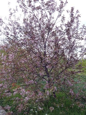 Крупномеры лиственные Черемуха обыкновенная Колората