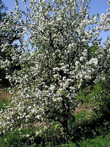 Крупномеры лиственные Яблоня домашняя