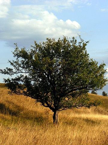 Крупномеры лиственные Яблоня обыкновенная