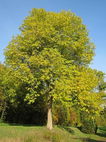 Крупномеры лиственные Ясень обыкновенный