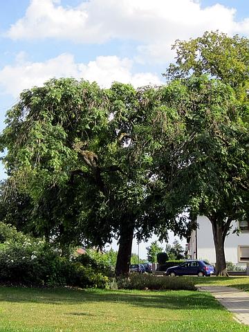 Крупномер лиственный Ясень обыкновенный Пендула