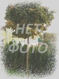 Крупномеры лиственные Каштан конский Баумани