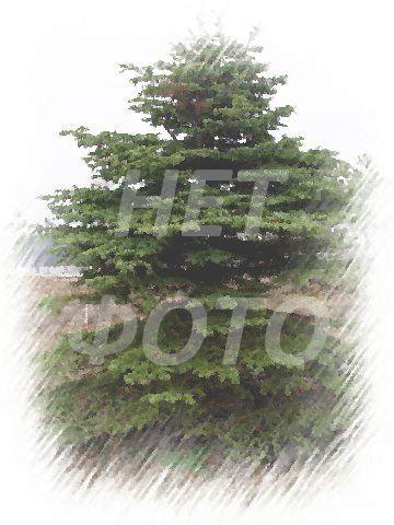 Крупномер Сосна обыкновенная Фастигиата (Pinus sylvestris 'Fastigiata')