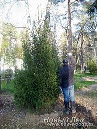 Крупномеры - деревья больших размеров