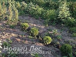 Питомник растений - будущие хвойные крупномеры