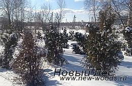Питомник растений зимой - будущие хвойные крупномеры