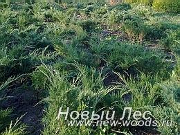 Питомник растений - хвойные породы