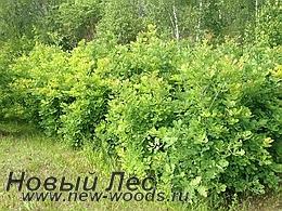 Питомник растений - будущие крупномеры дуб