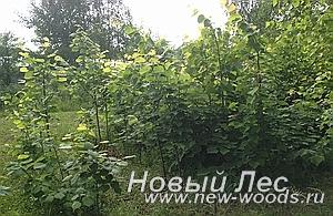 Питомник растений - будущие лиственные крупномеры