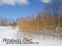 Питомник растений зимой - будущие лиственные крупномеры