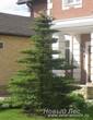 Посадка крупномера Новогодняя ель у входа в загородный дом