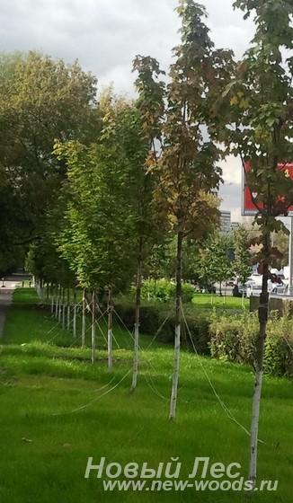 Посадка крупномеров в ряд для ветрозащиты и шумозащиты вдоль дороги
