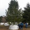 Посадка крупномера Сибирского кедра (высота 10 метров)