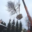 Посадка крупномерного дерева Дуба обыкновенного (вес 5 тонн)