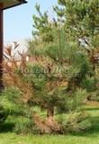 Высаженное дерево Сосны обыкновенной без ухода болеет