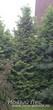 Вечнозеленая живая изгородь - высадка крупномеров