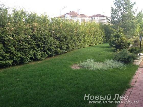 Посадка плотной зеленой живой изгороди из хвойных крупномеров