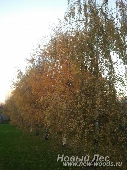 Посадка крупномеров березы в живую изгородь