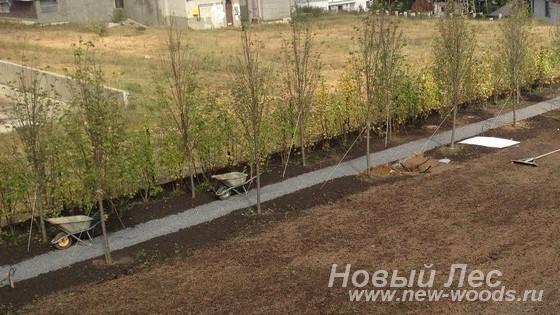 Посадка лиственных крупномеров в аллею