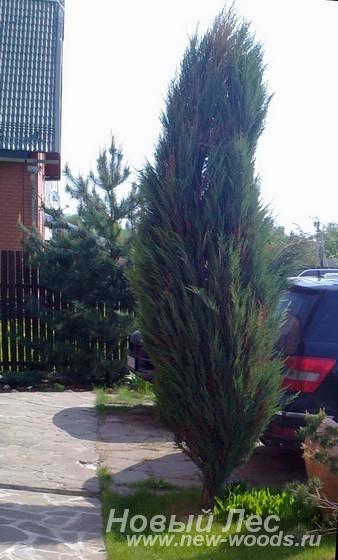 Посадка хвойных крупномеров для озеленения участка около дома