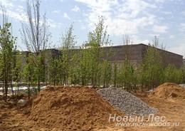 Посадка крупномеров липы обыкновенной для озеленения промышленной территории