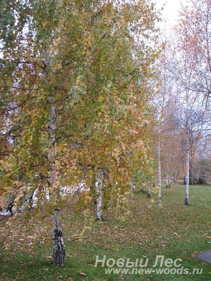 Посадка крупномеров березы для озеленения