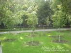 Посадка лиственных крупномеров для озеленения