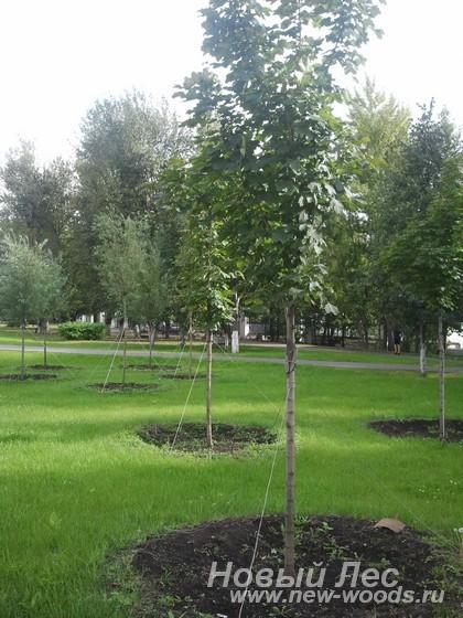 Посадка крупномеров для озеленения парка