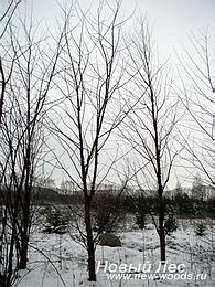 Зимняя посадка крупномеров