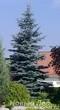 Посадка крупномеров Ели колючей Глаука (Ели голубой, Picea pungens Glauca)