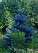 Посадка крупномера Ели голубой (Picea pungens Glauca)