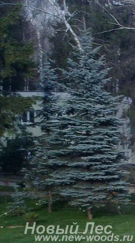 Посадка крупномеров Ели голубой (Ели колючей Глаука, Picea pungens Glauca)