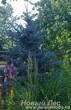 Посадка крупномеров Ель голубая (Picea pungens Glauca) на участке