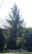 Посадка крупномеров Ели обыкновенной (Picea abies)