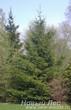 Посадка крупномеров Ели обыкновенной (Picea abies) на участке
