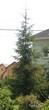 Посадка крупномеров Ели обыкновенной возле коттеджа