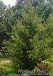 Озеленение участка: посадка крупномера Ели обыкновенной (Picea abies)