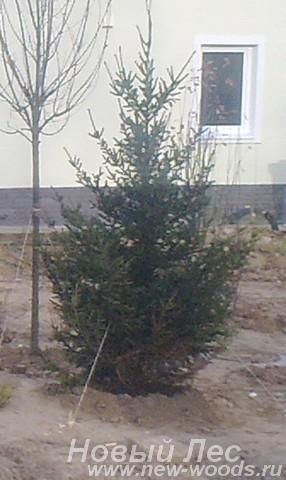 Посадка дерева Ель обыкновенная (Picea abies) у загородного дома