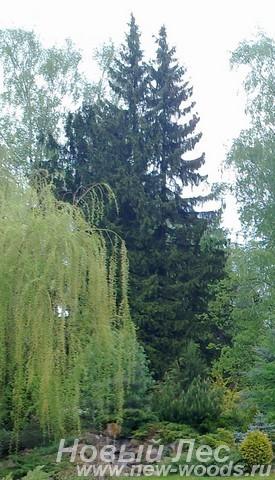 Посадка крупномеров Ели обыкновенной (Picea abies) в декоративном ландшафте