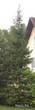 Посадка крупномера Ели обыкновенной (Picea abies) около дома