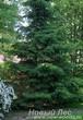 Посадка дерева Ель обыкновенная (Picea abies) при озеленении