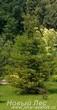 Посадка крупномеров Ели обыкновенной (Picea abies) в центре газона