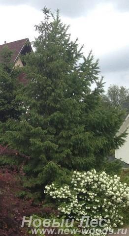 Посадка крупномеров Ели обыкновенной (Picea abies) в живой изгороди