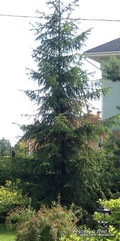 Посадка крупномера Ель обыкновенная у дома (Новогодняя ель)