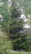 Посадка крупномеров Ели обыкновенной (Picea abies) по границе участка